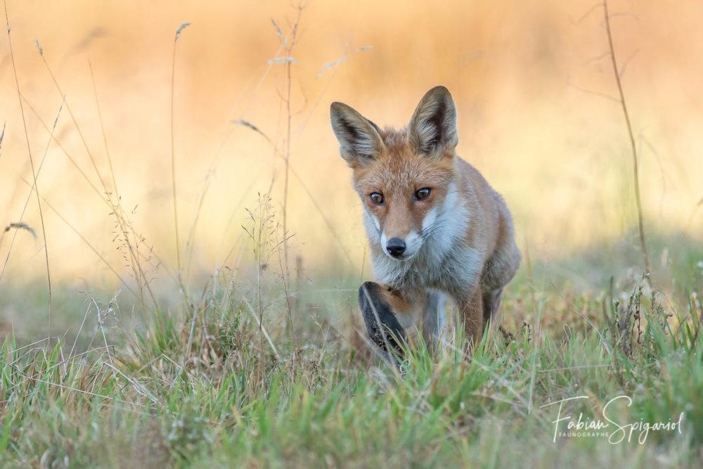 En chasse dans un paturage boisé des crêtes du Val-de-Travers, le renard parcoure méticuleusement son territoire à la recherche de campagnols imprudents.