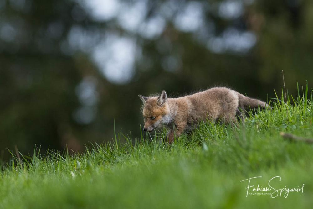 Déterminé, ce jeune renardeau parcourt le pâturage boisé comme un vieux briscard.