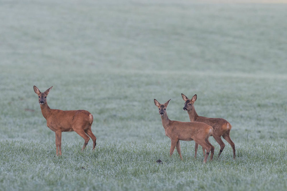 Une chevrette avec ses deux jeunes chevreuils de l'année observés dans un champ des environs du Val-de-Travers
