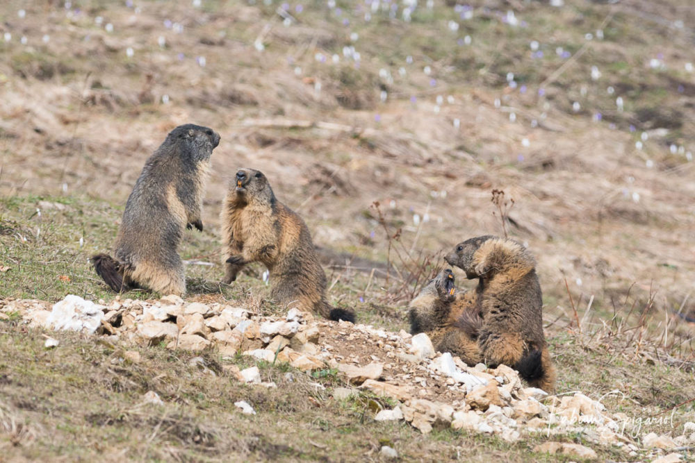 La vie peut parfois être animée sur un terrier de marmotte...