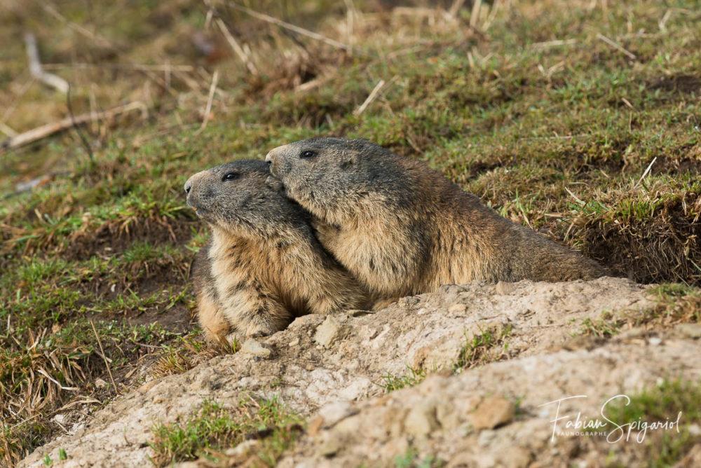 Pour renforcer la cohésion communautaire, les marmottes s'adonnent à de nombreuses séances de toilettage mutuelles...
