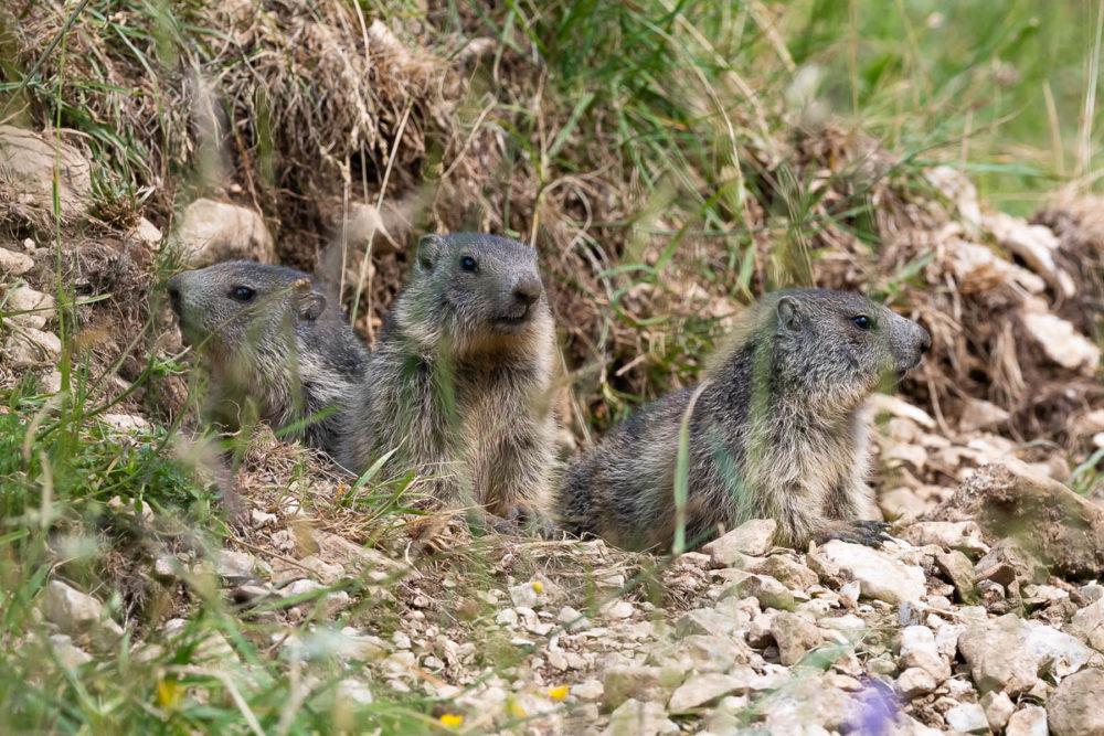 Trois marmottons postés à l'entrée du terrier familial quelque part sur les crêtes du Jura neuchâtelois.