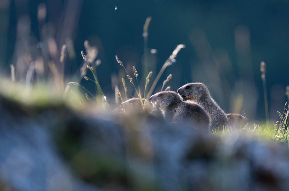 Entre premier-plan rocheux et arrière-plan sapineux, pas facile de distinguer la fratrie de marmottons...