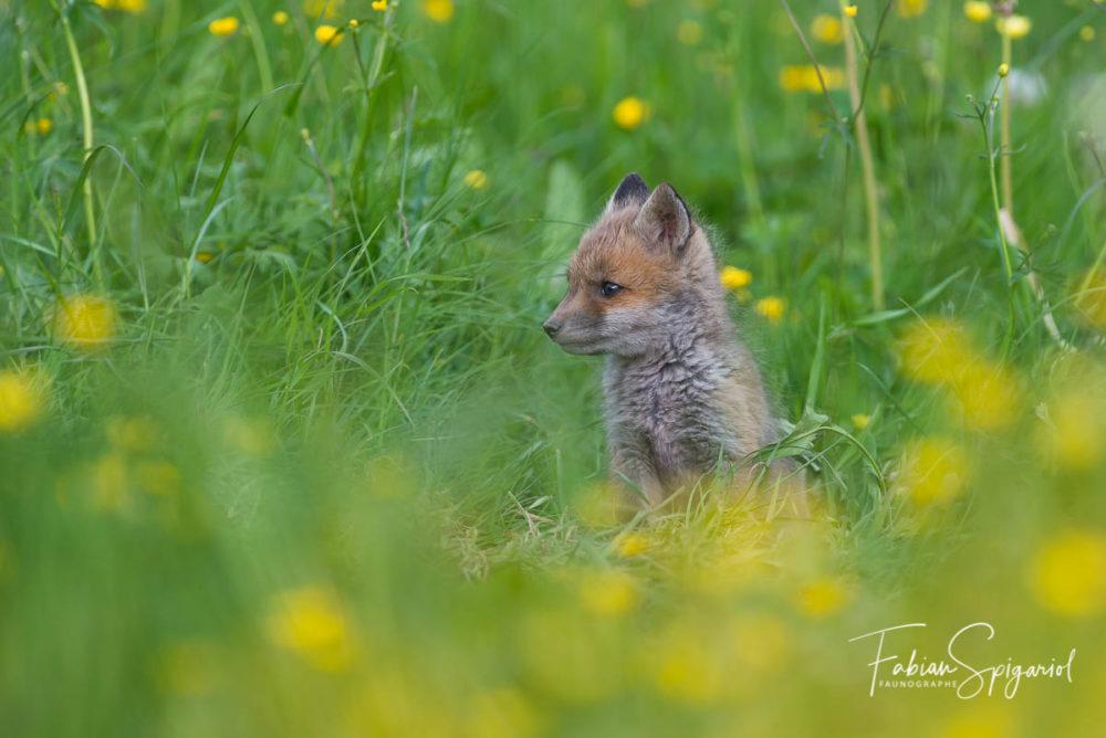 C'est dans un ancien terrier de blaireau situé en plein pâturage boisé que la renarde a choisi d'installer ses nouveaux nés...