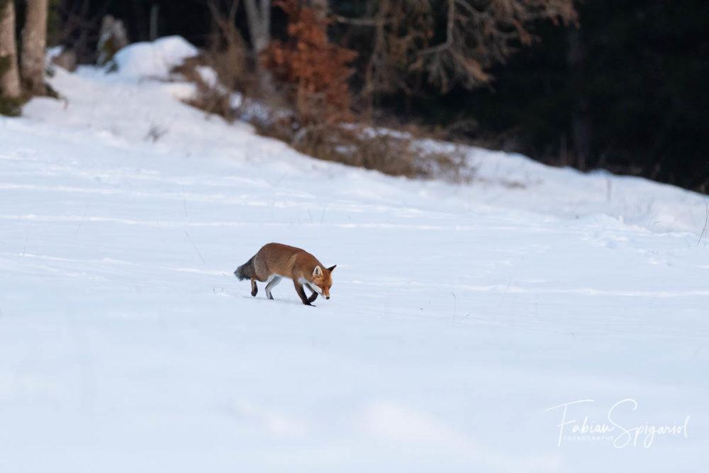 Baigné dans les derniers rayons de lumière d'un soir de janvier,Maître Renard apparaît fièrement au pied d'un hêtre ensommeillé.Après avoir attentivement scruté le pâturage boisé de ses yeux dorés,Il quitte le couvert forestier pour s'avancer sur la plaine immaculée.