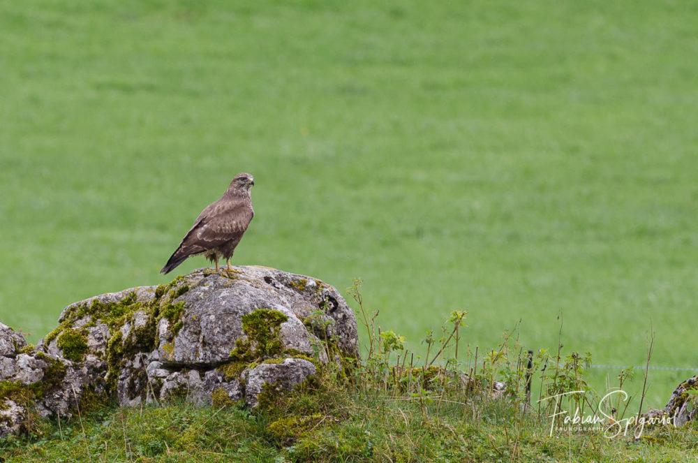 Trônant sur son rocher, la buse variable scrute le champ à l'affût d'un campagnol imprudent...