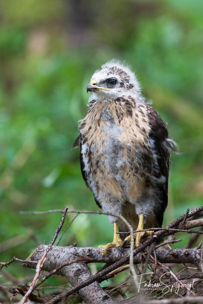 A peine sortie du nid, cette jeune buse variable tente de se dissimuler dans le paysage forestier dans la région de la Brévine (CH). Trois clichés dans la boite et il est déjà temps de disparaitre pour ne pas compromettre le nourissage...