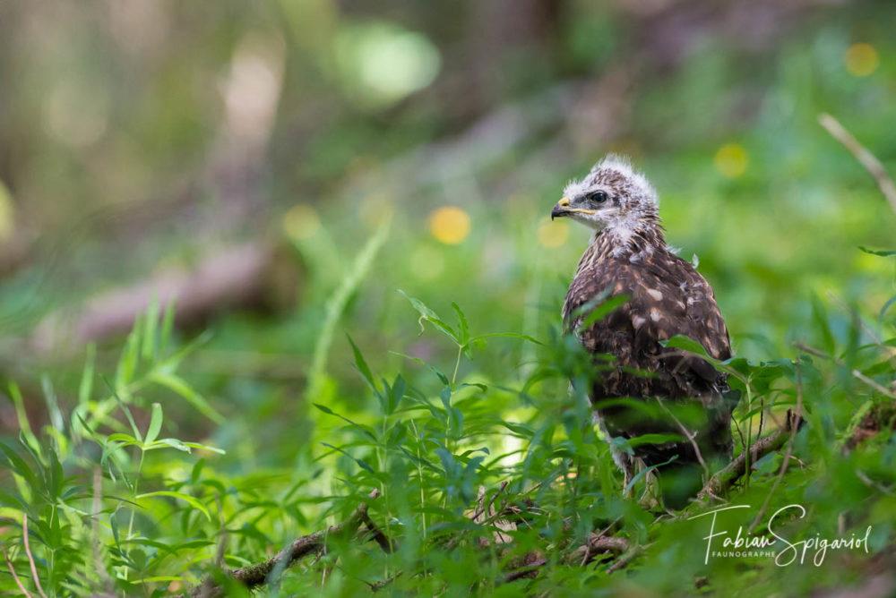 Cette jeune buse variable a fraichement quitté le nid et attend patiemment la visite de ses parents.