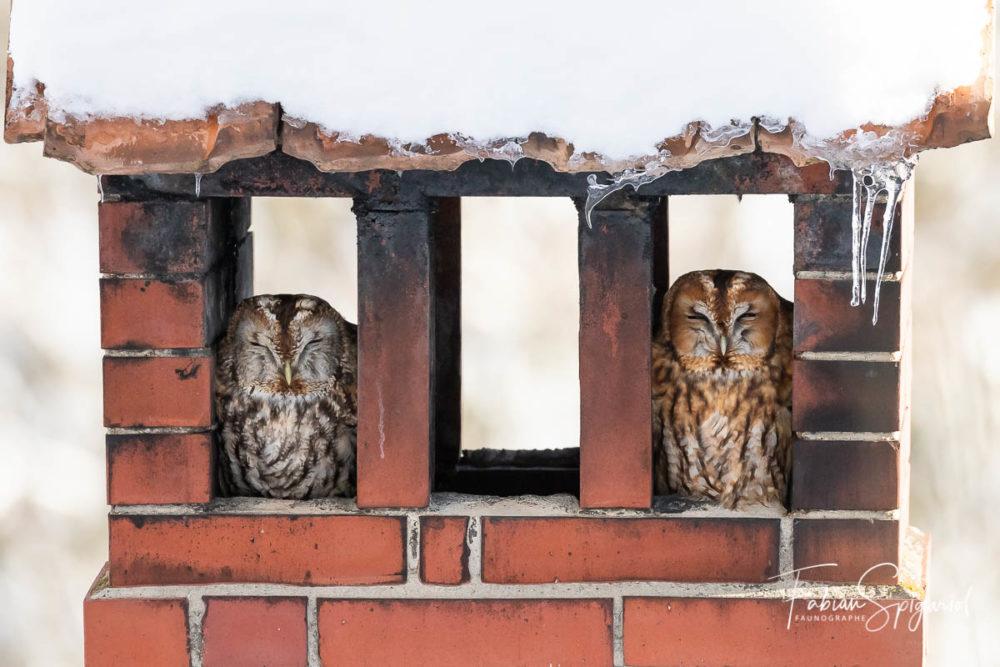 Quoi de mieux que la douceur d'un feu de cheminée, semblent se dire ces deux chouettes hulottes.