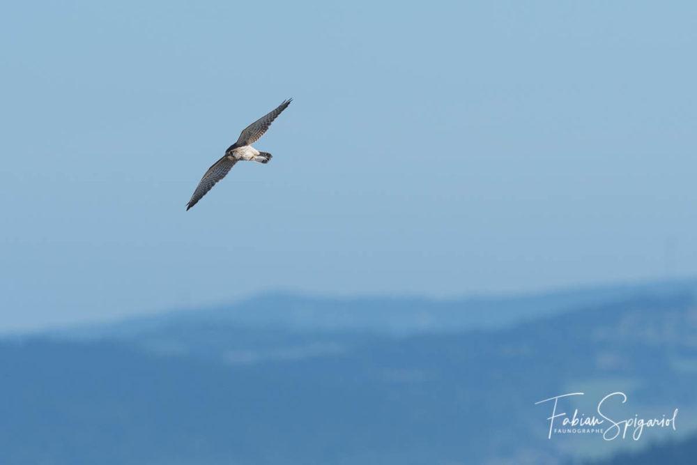Faucon crécerelle survolant les crêtes du Val-de-Travers.
