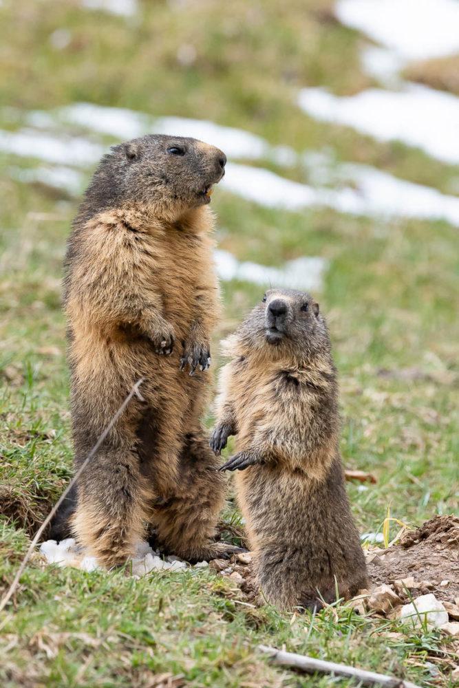 L'arrivée au loin du renard roux ne passe pas inaperçue. Une marmotte le voit et siffle, alertant ainsi à toute la colonie.