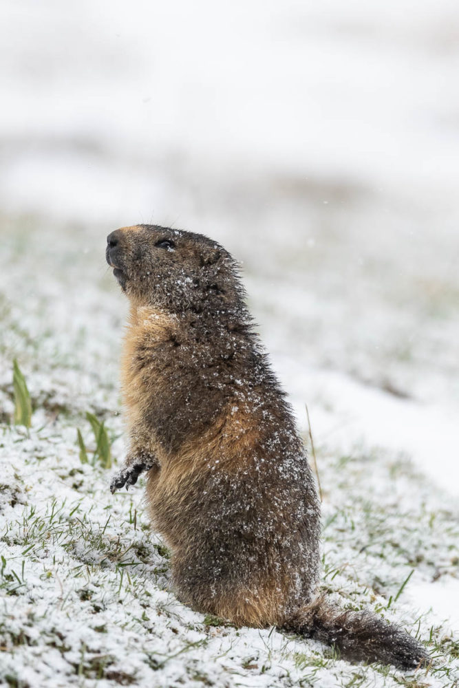 L'hiver peine parfois à tirer sa révérence sur les crêtes jurassienne, pour le plus grand malheur des marmottes.