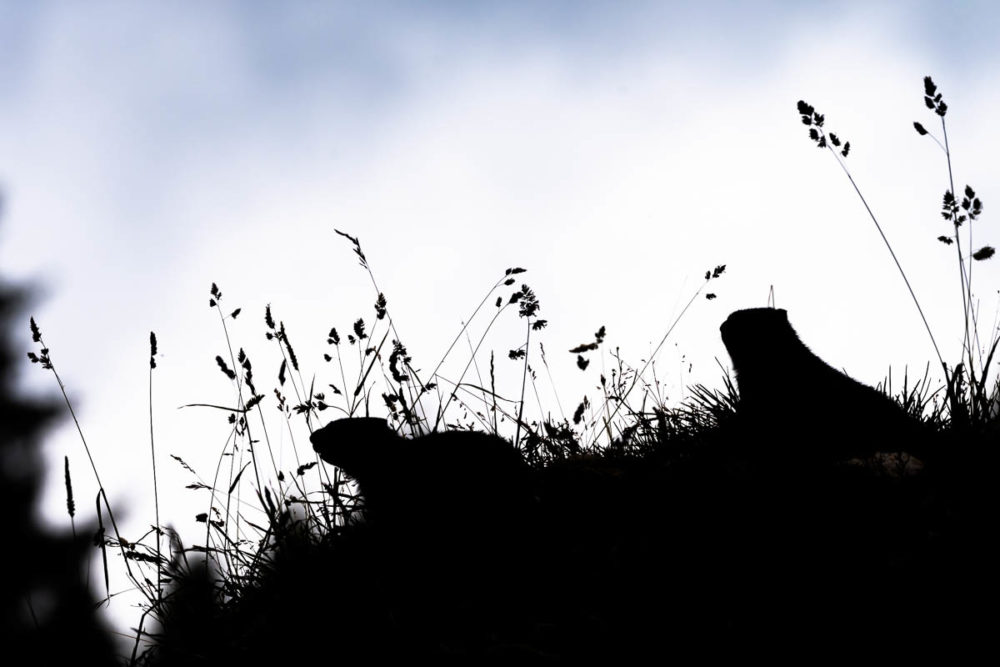 Très discrètes, les marmottes du Jura aiment vivre dans l'ombre en toute tranquilité...