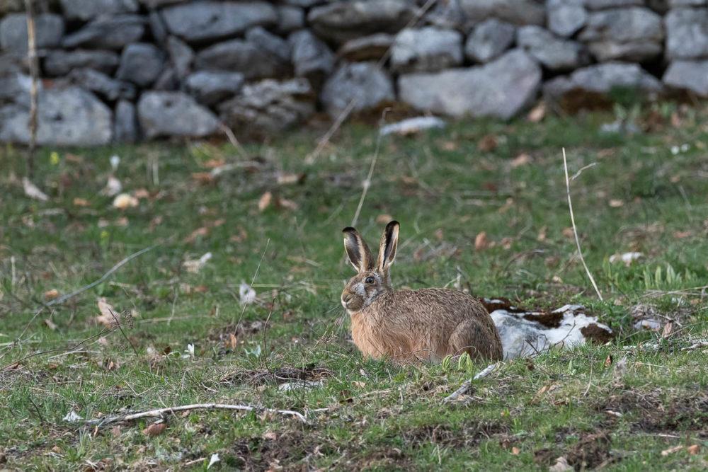 Broutant paisiblement aux abords d'un mur de pierre sèches, le lièvre brun s'interrompt à chaque fois qu'un bruit suspect se fait entendre. Il scrute les environs avec ses longues oreilles avant de reprendre son activité.