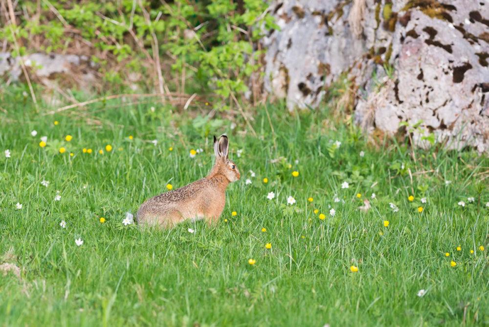 Surpris au détour d'un chemin, ce lièvre s'immobilise pour mieux jauger l'intrus avec ses longues oreilles avant d'aller se cacher dans le petit bois...