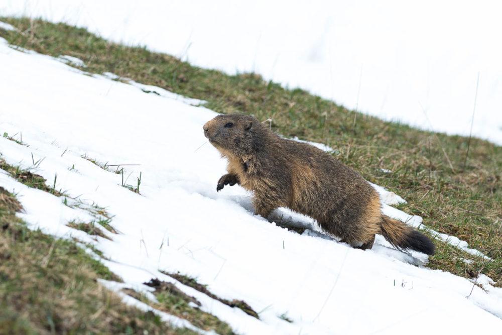 Dans la neige, la marmotte avance prudemment à pas de loup.