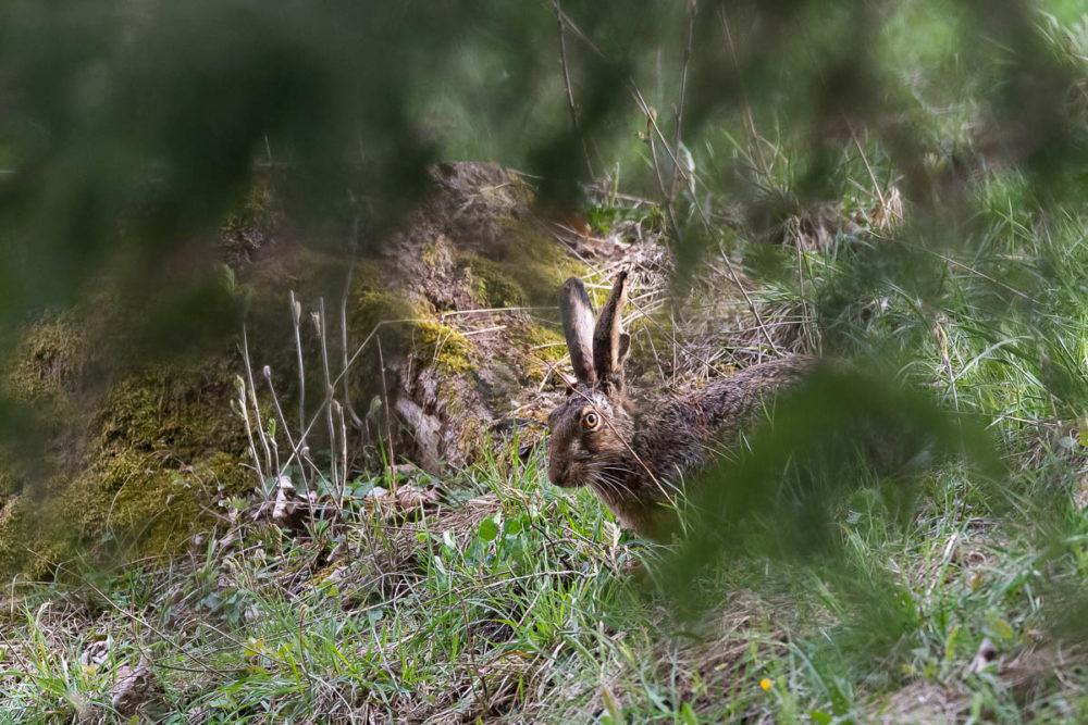 Arrivé sans un bruit près d'un terrier de renards, le lièvre broute les meilleurs herbes avant de disparaître dans la clairière en contre-bas.