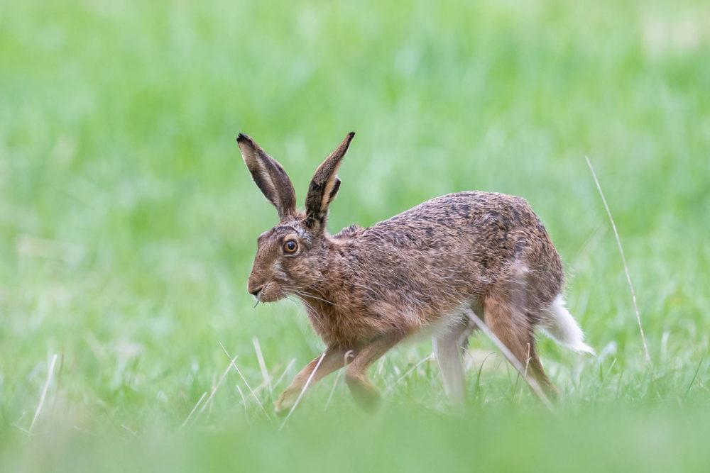 Parfois, lorsqu'on attend un renard à la sortie de son terrier, ce dernier décide de vous poser un lapin...