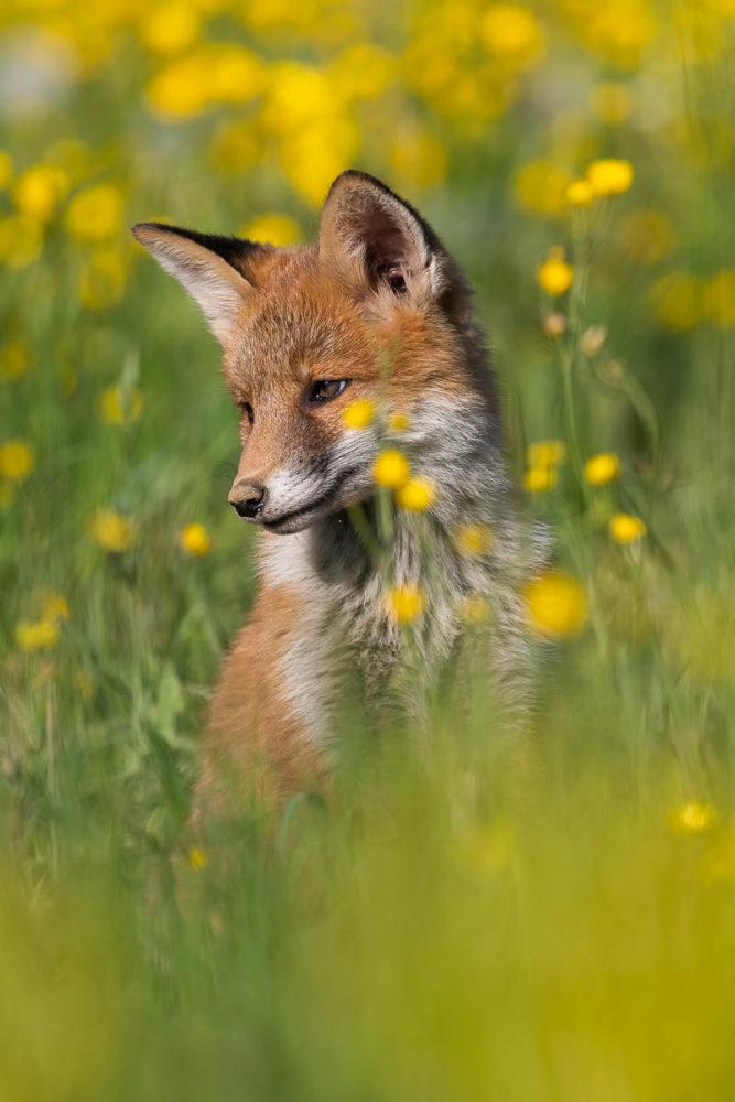 Ce jeune renardeau profite de la quiétude de son terrier champêtre pour s'offrir un bain de soleil.