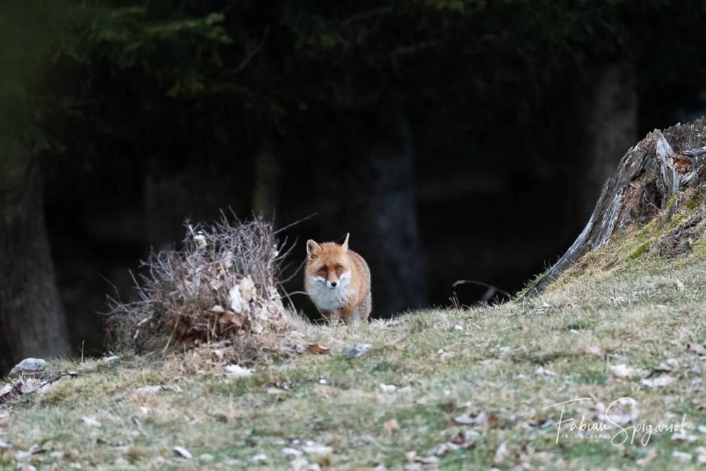 A défaut de chacal doré, c'est un magnifique renard d'orée qui est sorti du bois pour venir inspecter le pâturage boisé.