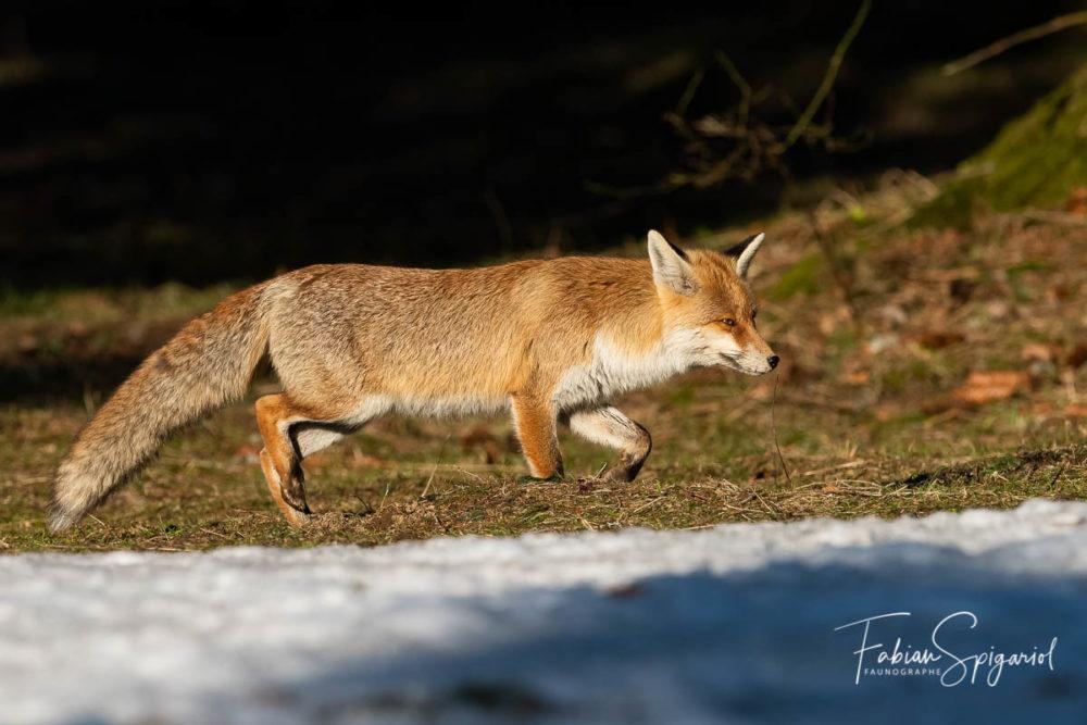 Sans un bruit et déterminé, le renard traverse le paturage boisé sans se retourner. Sans doutes sait-il où aller pour s'offrir un bon souper...