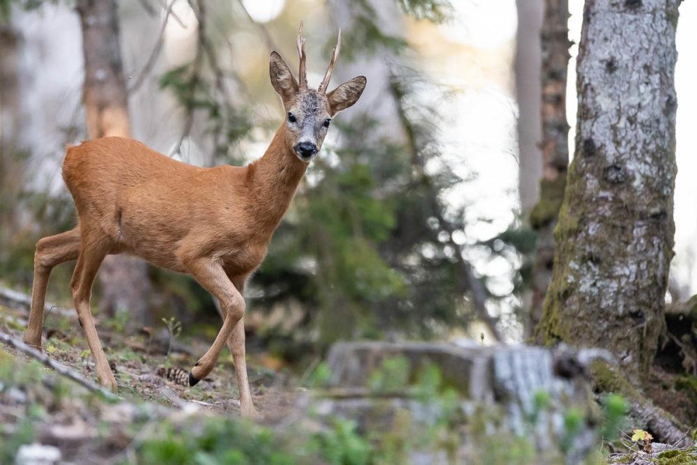 Approchant à pas feutrés, ce magnifique brocard quitte le couvert forestier pour rejoindre le paturage boisé jurassien.