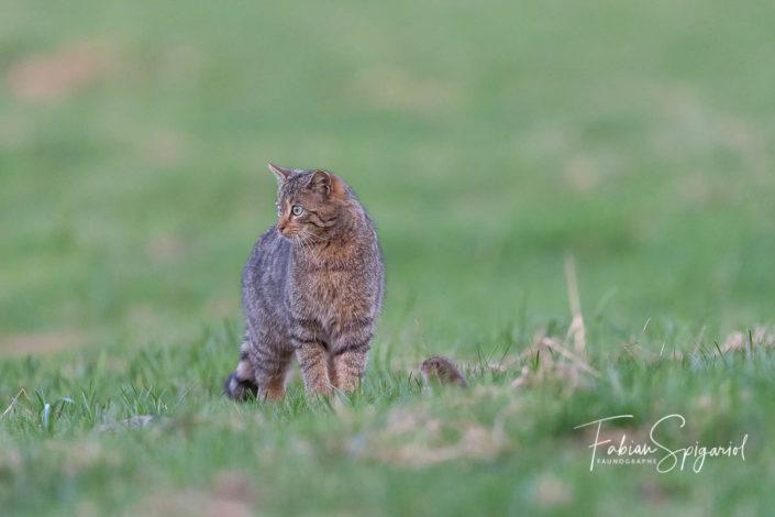 Le campagnol fait courageusement face au chat forestier qui semble complètement s'en désintéresser.