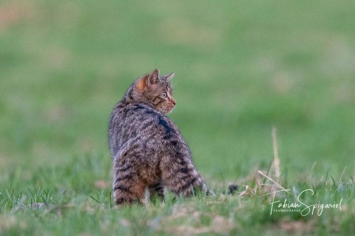 A défaut de sac, le chat forestier porte une élégante ligne noire sur son dos, l'un des signes qui permet de le démarquer de son cousin domestique.