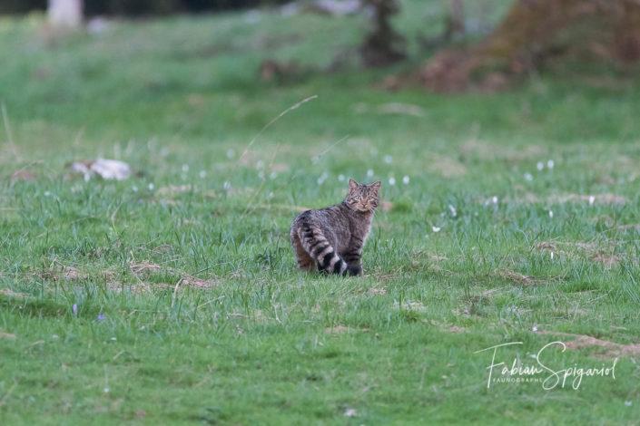 Le chat forestier se démarque de son cousin domestique entre autre par une queue touffue et habillée d'anneaux noirs.