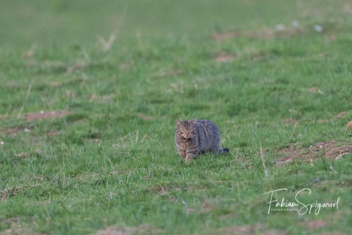Quel cadeau de pouvoir observer le chat forestier en chasse sur les crêtes du Val-de-Travers.