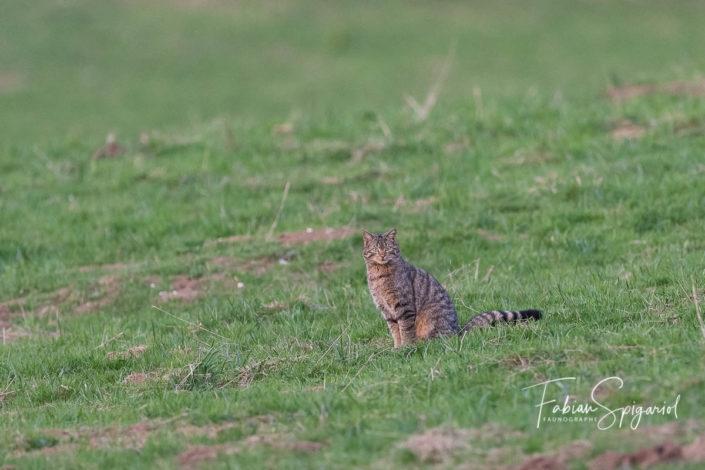 Dit forestier,  sauvage ou sylvestre, le chat des bois n'est qu'un lointain cousin du chat domestique.