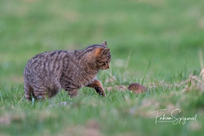 Toutes dents dehors, le campagnol tente un dernier baroud d'honneur face au chat forestier qui n'en fera qu'une bouchée.