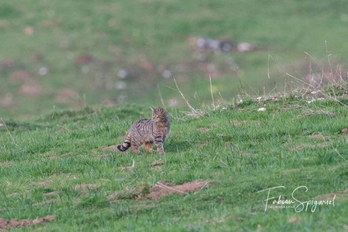 Le chat sauvage parade dans le champ habillé de son élégante robe rayée.
