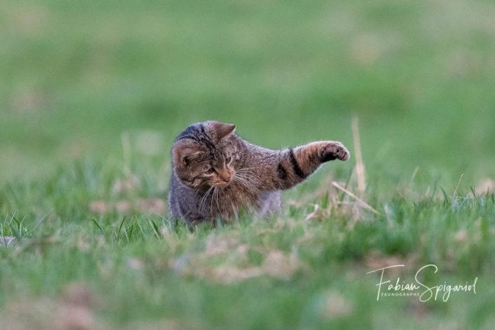 Concentré, le chat assène un violent coup de patte sur un campagnol complètement désorienté.