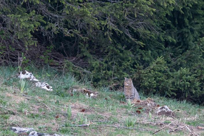 Le chat forestier observe prudemment le paturage boisé depuis la lisière de la forêt.