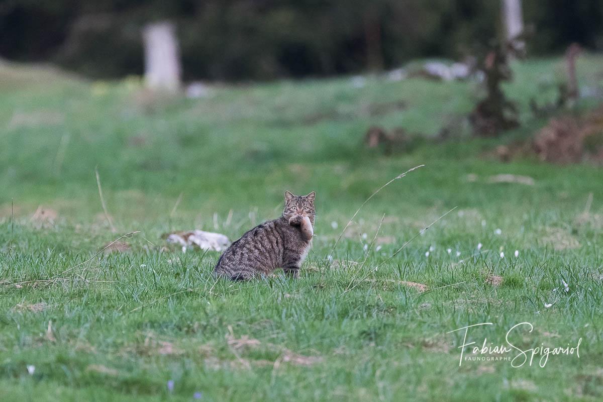 Après avoir joué durant de longues minutes avec un campagnol, le chat forestier s'en empare pour de bon et file dans le bois pour savourer son repas.