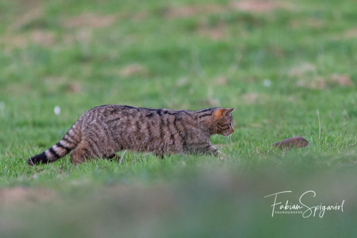 Course-poursuite champêtre sur les crêtes du Val-de-Travers entre un chat forestier et un campagnol.