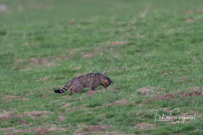 Tapis au sol, le chat forestier se prépare à bondir sur un malheureux campagnol sortant de son logis.