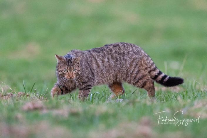 Le prédateur s'avance dans le champ et s'apprête à saisir un campagnol.