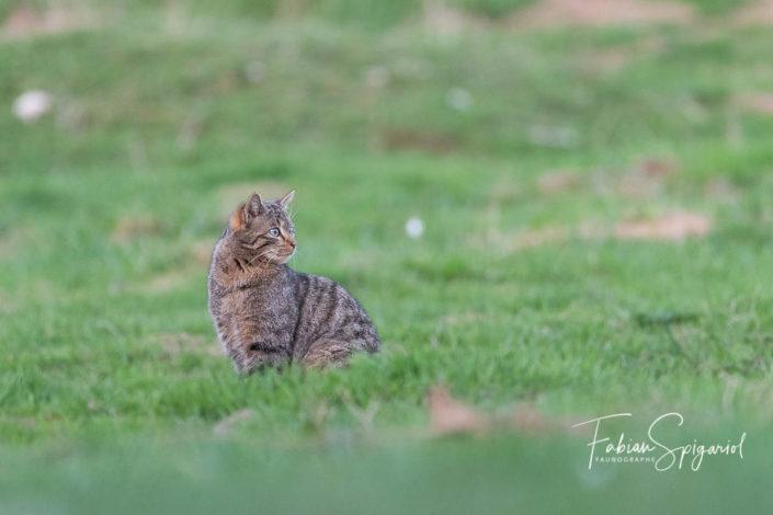 Lorsque le chat s'installe à quelques petits mètres de l'objectif pour s'amuser avec sa proie, il m'offre une occasion unique de croiser son regard.