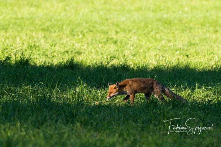 Maitre renard entre ombre et lumière...