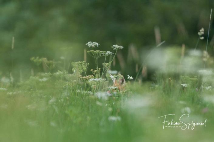 Renard roux dans les hautes herbes