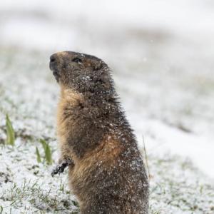 Marmotte saupoudrée de neige