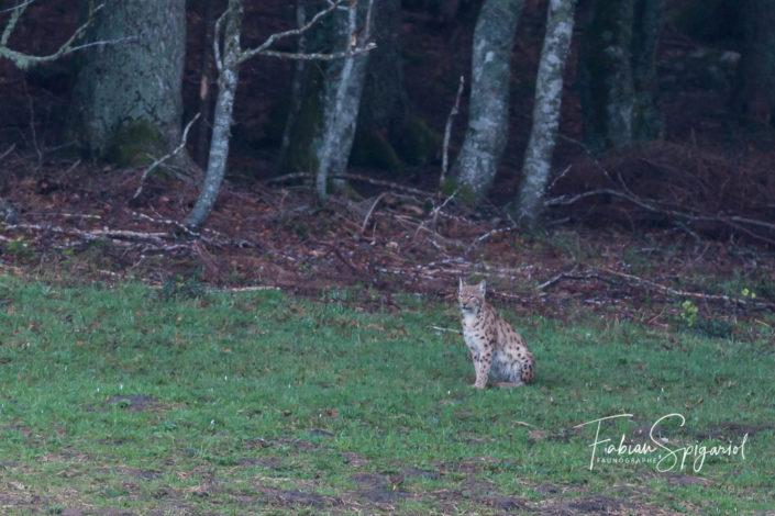 Lynx boréal assis
