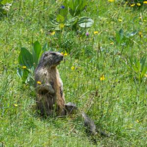 Lait de marmotte