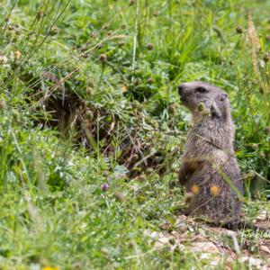 Marmotton surveillant les environs...