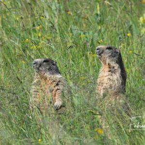Marmottes dans le vent