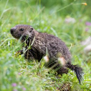Jeune marmotte