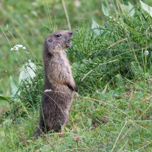 Marmotton siffleur...