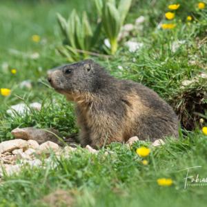 Jeune marmotte à la sortie de son terrier